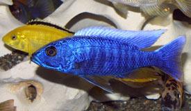 Sciaenochromis fryeri Color FX